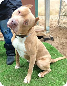 Dogue de Bordeaux/Pit Bull Terrier Mix Dog for adoption in Los Angeles, California - Sweet Prince William
