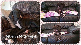 Great Dane Puppy for adoption in DOVER, Ohio - Minerva McGonagall