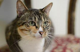 Domestic Shorthair Cat for adoption in Atlanta, Georgia - Lilliana 11347