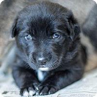 Adopt A Pet :: Puppy Godiva - Miami, FL