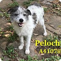 Adopt A Pet :: A410782 Pelochin - San Antonio, TX