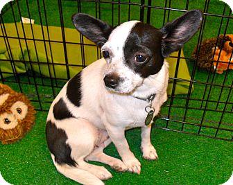 Chihuahua/Papillon Mix Dog for adoption in Phoenix, Arizona - Tia