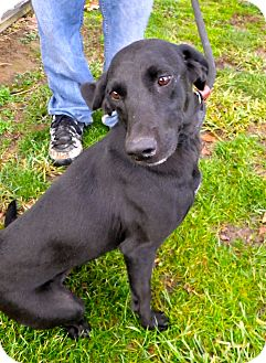 Labrador Retriever/Whippet Mix Dog for adoption in Metamora, Indiana - Taffy