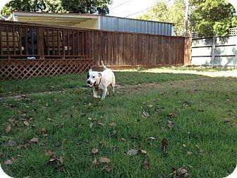 Dalmatian Mix Dog for adoption in Houston, Texas - Daisy