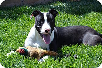 Pit Bull Terrier/Border Collie Mix Dog for adoption in Tustin, California - Weazie