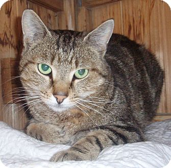Domestic Shorthair Cat for adoption in Germansville, Pennsylvania - Lucky
