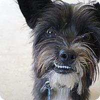 Miniature Schnauzer/Terrier (Unknown Type, Medium) Mix Dog for adoption in Madera, California - Princess Oreo Cookie