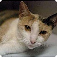 Domestic Shorthair Kitten for adoption in New York, New York - Sparky