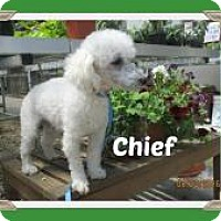 Adopt A Pet :: Chief - Shawnee Mission, KS