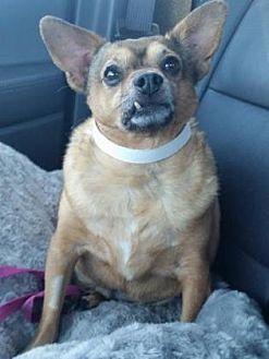 Chihuahua Dog for adoption in Scottsdale, Arizona - Meatball
