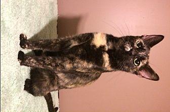 Domestic Shorthair Cat for adoption in O'Fallon, Missouri - Amber