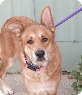 Shepherd (Unknown Type) Mix Dog for adoption in Martinsville, Indiana - Sailor