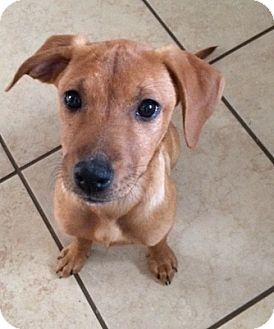Plott Hound Mix Puppy for adoption in Fort Collins, Colorado - Emma