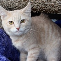 Domestic Shorthair Kitten for adoption in Louisville, Kentucky - Camden
