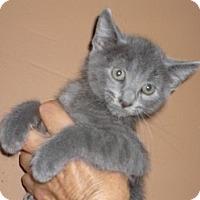 Adopt A Pet :: Baklava - Dallas, TX