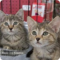 Adopt A Pet :: Ridgeway - Merrifield, VA