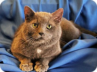 Russian Blue Cat for adoption in Greensboro, North Carolina - Colby