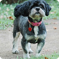 Shih Tzu Dog for adoption in Lawrenceville, Georgia - Sebastian
