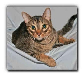 Domestic Shorthair Cat for adoption in Howell, Michigan - OJ