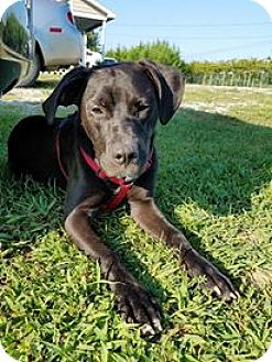 Retriever (Unknown Type) Mix Puppy for adoption in Hagerstown, Maryland - Ebony