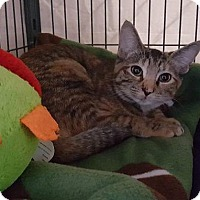 Domestic Shorthair Cat for adoption in Freeport, New York - Brooklyn