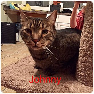 Domestic Shorthair Cat for adoption in Hamilton, New Jersey - JOHNNY aka Merlin