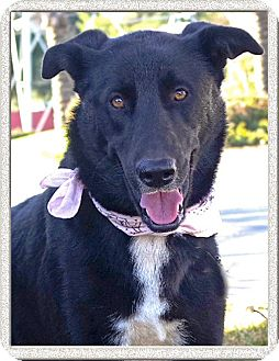 Labrador Retriever/Shepherd (Unknown Type) Mix Dog for adoption in Redding, California - Lovely Tux country companion