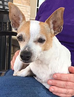 Chihuahua Mix Dog for adoption in Fort Worth, Texas - Martie---Courtesy Listing
