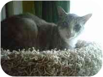 Domestic Shorthair Cat for adoption in Manalapan, New Jersey - Jacob