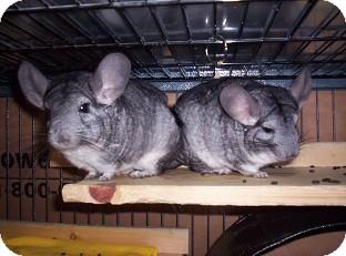Chinchilla for adoption in Avondale, Louisiana - Bea & Rose