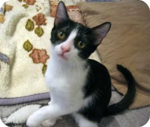 Domestic Shorthair Kitten for adoption in Mission Viejo, California - Luke