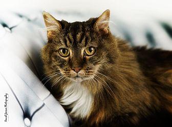 Maine Coon Cat for adoption in Anchorage, Alaska - Kioko