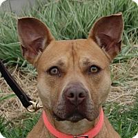 Pit Bull Terrier Mix Dog for adoption in Monroe, Michigan - Teela