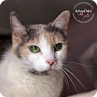 Domestic Shorthair Cat for adoption in Lyons, New York - Methea