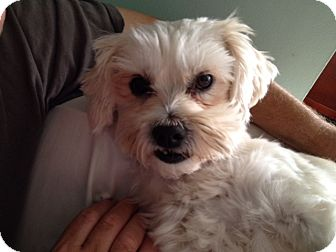 Maltese/Poodle (Miniature) Mix Dog for adoption in Redondo Beach, California - Chuck Terrier Charlie