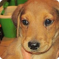 Adopt A Pet :: Shaun - Rocky Mount, NC