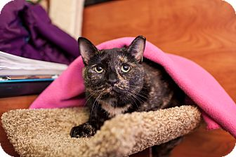 Domestic Shorthair Cat for adoption in Statesville, North Carolina - Trina