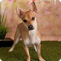 Adopt A Pet :: Molly Bee - Phoenix, AZ