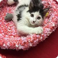 Adopt A Pet :: Badger - Butner, NC