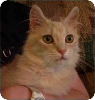 Maine Coon Cat for adoption in Wakinsville, Georgia - Wimbley (FIV+)