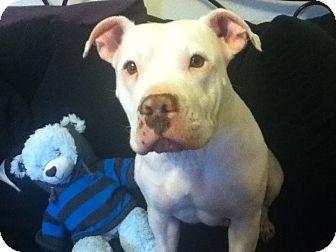 Staffordshire Bull Terrier Mix Dog for adoption in Bellingham, Washington - Clara
