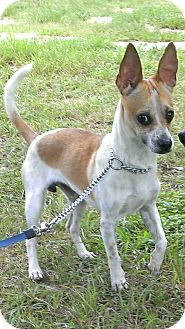 Rat Terrier Mix Dog for adoption in Spring Branch, Texas - Jerry Garcia