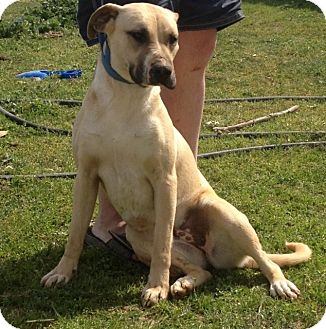 Boxer Mix Dog for adoption in Red Bluff, California - Daisey