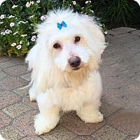 Adopt A Pet :: Cupcake - Burbank, CA