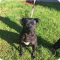 Adopt A Pet :: Sarge - Lancaster, PA