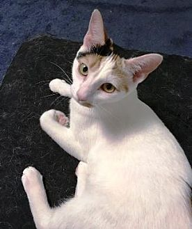 Domestic Shorthair Cat for adoption in Castro Valley, California - Luna