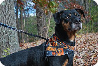 Rottweiler Dog for adoption in New Castle, Pennsylvania - Ceasar