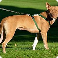 Carolina Dog/Shepherd (Unknown Type) Mix Puppy for adoption in East Randolph, Vermont - Susie