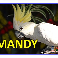 Adopt A Pet :: Mandy The Lesser Sulfur Creste - Vancouver, WA