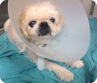 Pekingese/Shih Tzu Mix Dog for adoption in Oak Ridge, New Jersey - Kermit